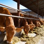How to Start a Cattle Farm