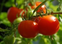 How to Grow Tomatoes Indoors |A Step by Step Procedure