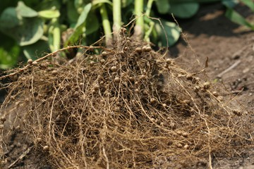Rhizomes in roots