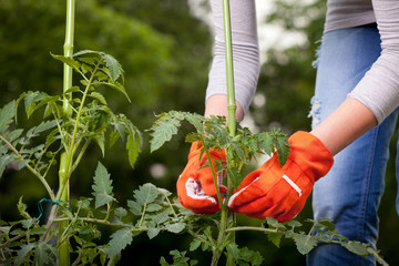 Staking- One of the methods on How to Grow Tomatoes Indoors