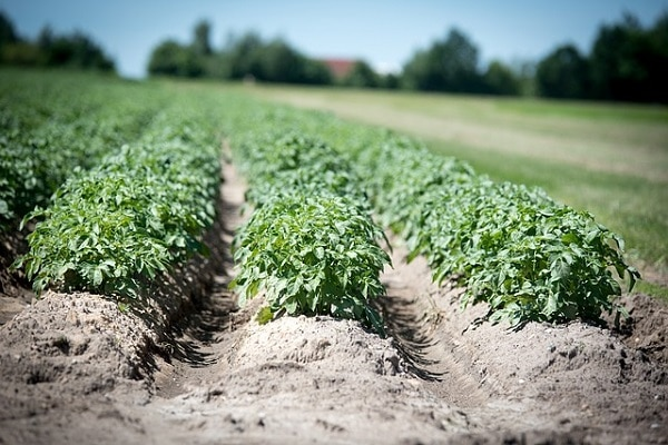 How to Grow Potatoes in farm