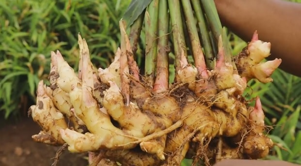 how to grow ginger_harvesting