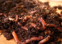 Vermicomposting | Its Methods, Advantages and Disadvantages